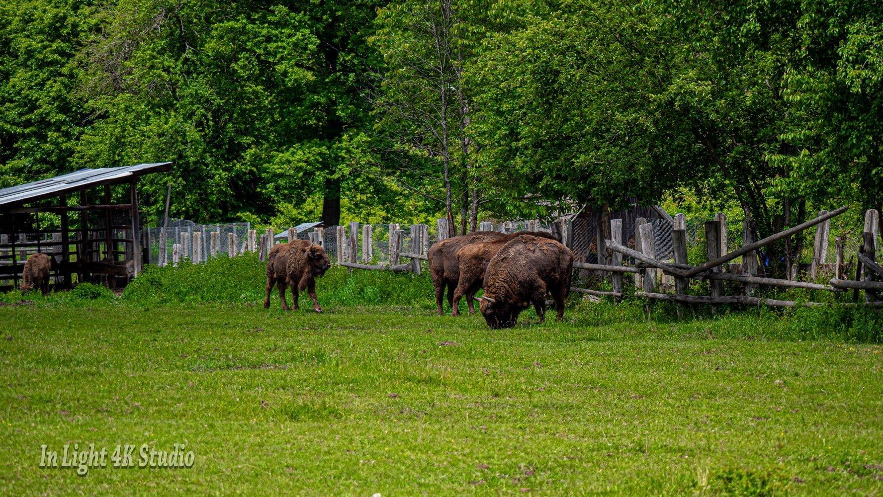 Rezervația de Zimbri Slivuț-Hațeg adăpostește opt exemplare dintre cele mai mari mamifere ierbivore din Europa