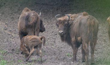 Nou membru în familia de zimbri de la Hațeg: Romică, puiul de doar 10 zile poate fi admirat în rezervație