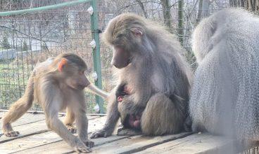 Puiul de babuin de la Zoo Hunedoara a fost botezat