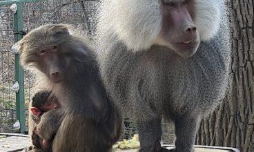 Grădina Zoologică din Hunedoara are un nou membru, un pui de babuin